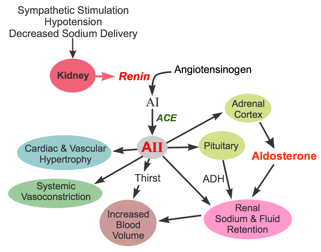 Angiotensin formation and actions