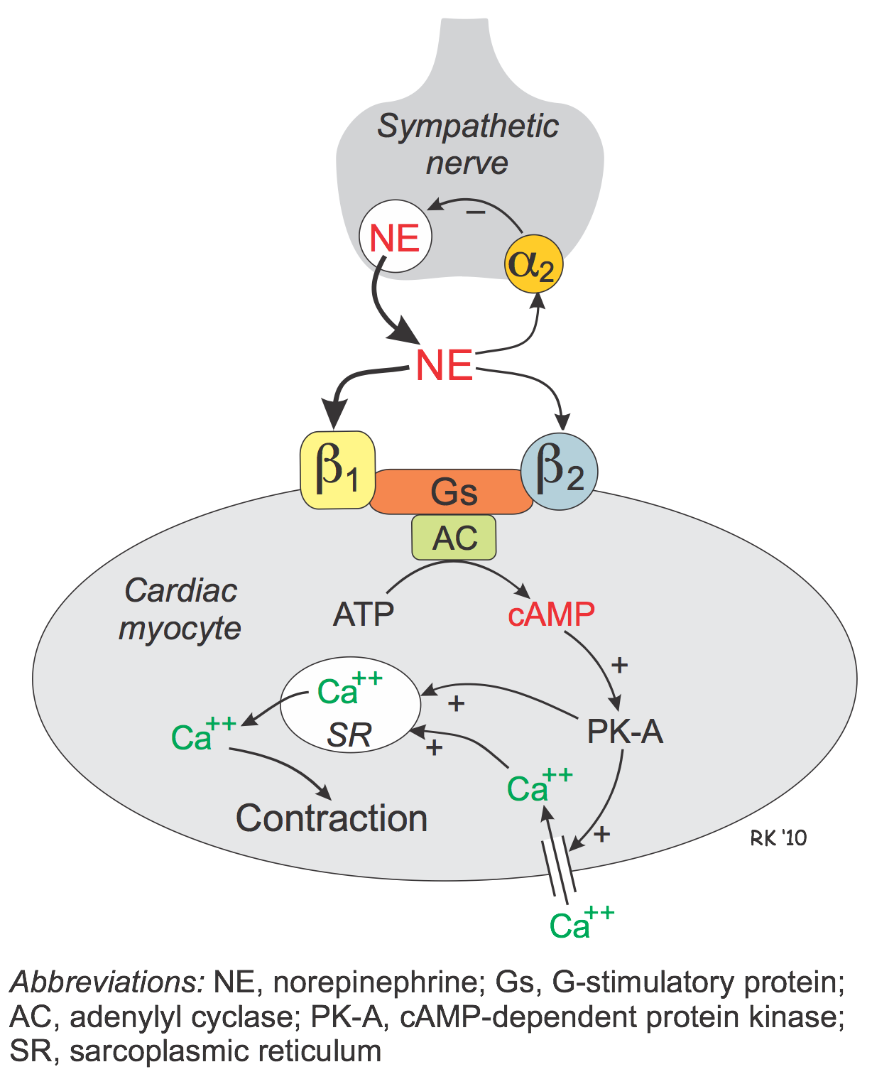 the effects of agonists Family of compounds subtype pharmacological action physiological effects examples of ligands gaba a receptor agonists: full agonists: full agonists bind to and activate the gaba a receptor complex at the gaba binding site located at the interface of α - and β-subunits (see figure 2), enhancing inhibitory synaptic transmission by causing.