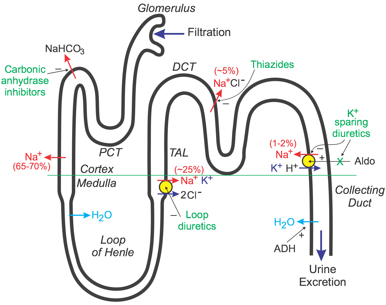 cv pharmacology | diuretics, Skeleton